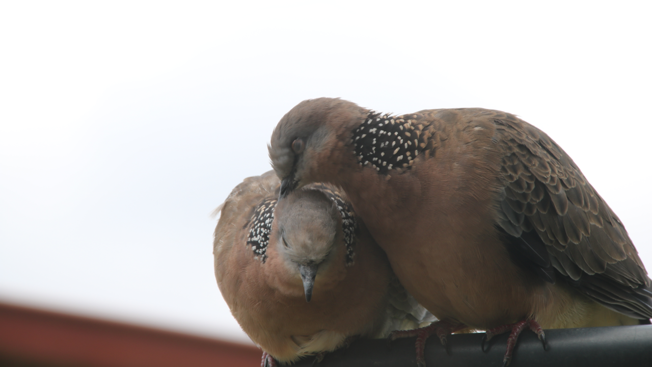 A spotted dove being preened by another dove.
