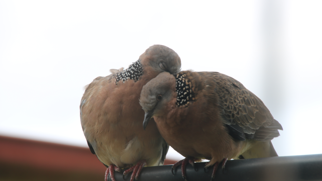 That same spotted dove preening the other.