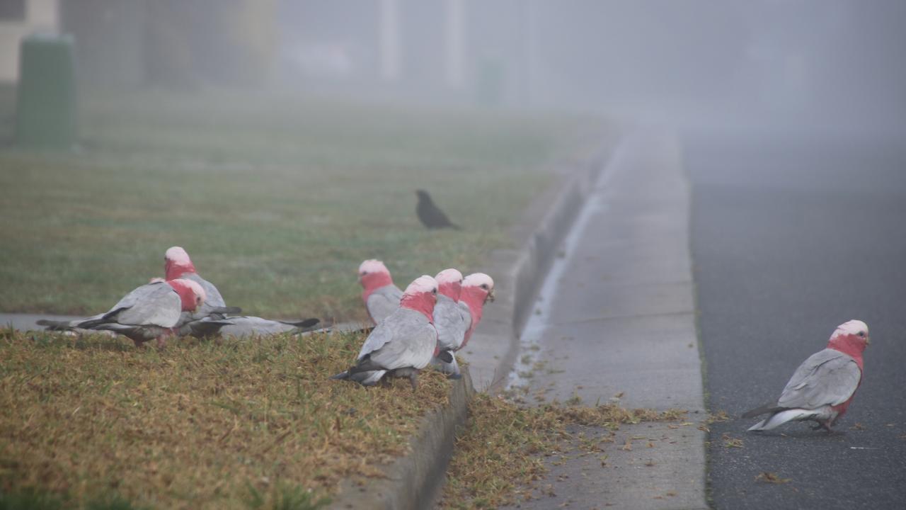 Several galahs eating grass on a kerb as a blackbird looks on through the morning fog