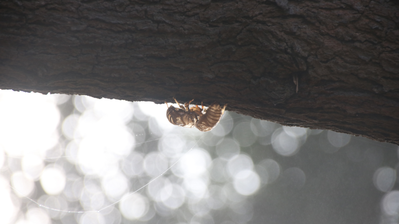 A pair of empty cicada shells lit from behind, with a couple of strands of dewy spiderweb hanging from them