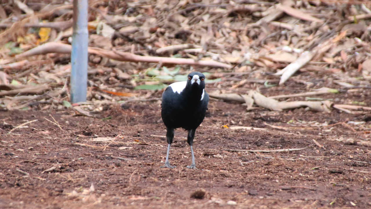 A magpie using binocular vision to look down the camera lens