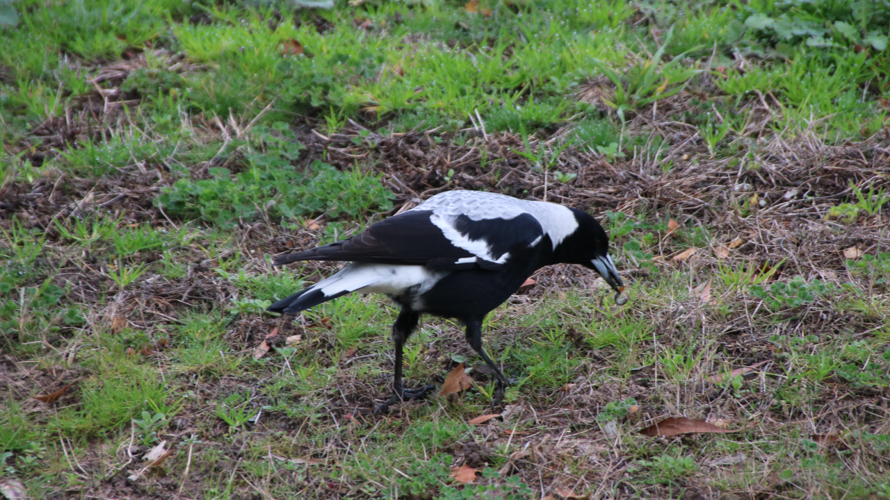 That same magpie with a grub in its beak, just pulled fresh from the ground