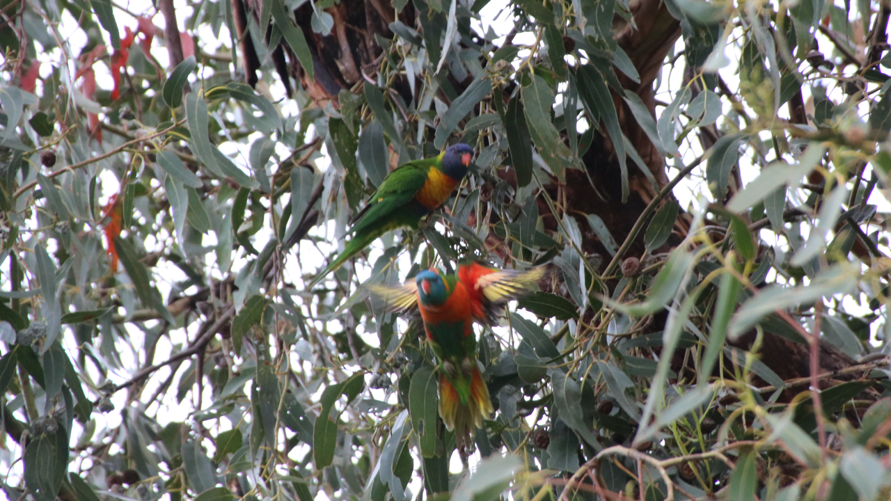A pair of rainbow lorikeets in a gum tree, one taking flight