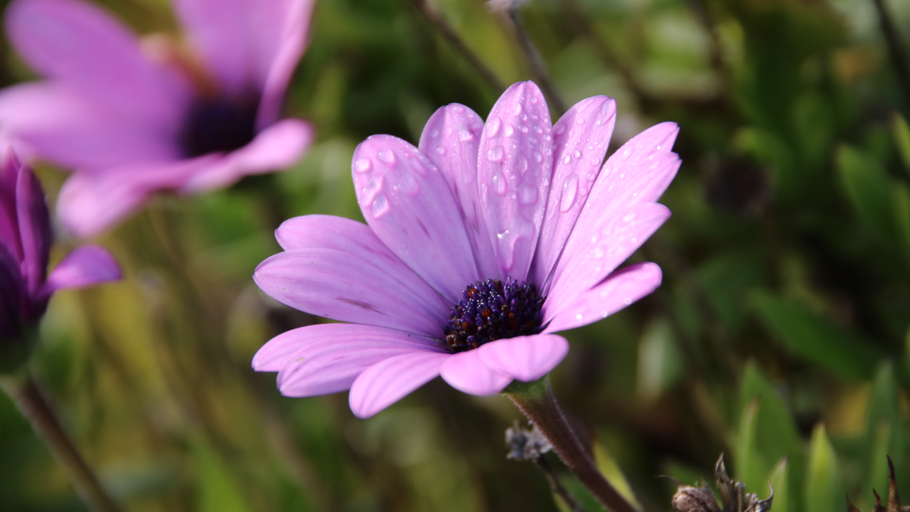 A purple flower with morning dew on its petals