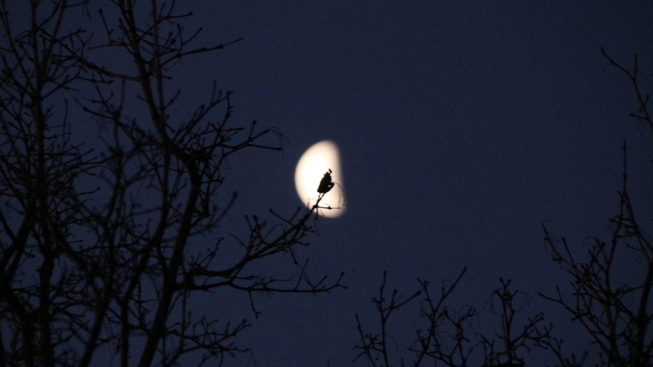 A wilted leaf on the tip of a tree silhouetted behind the half moon at dusk